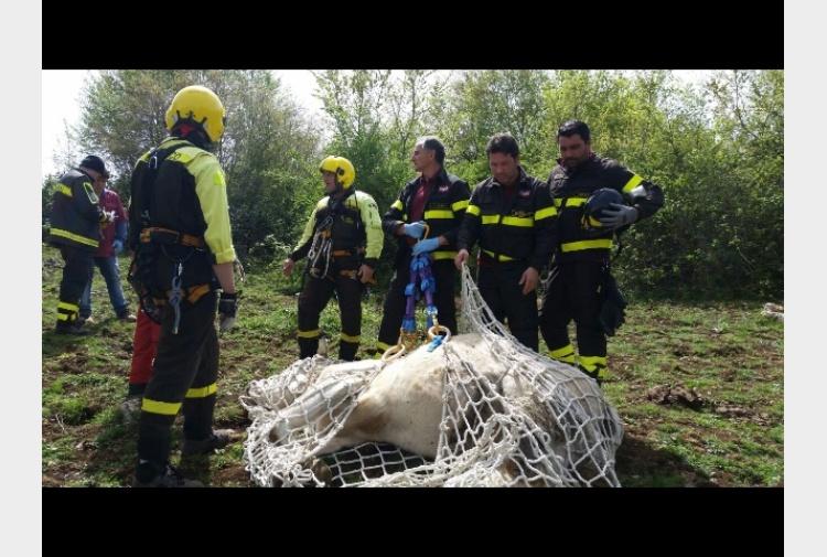 Elicottero Animale : Mucca in dirupo recuperata da elicottero tiscali notizie