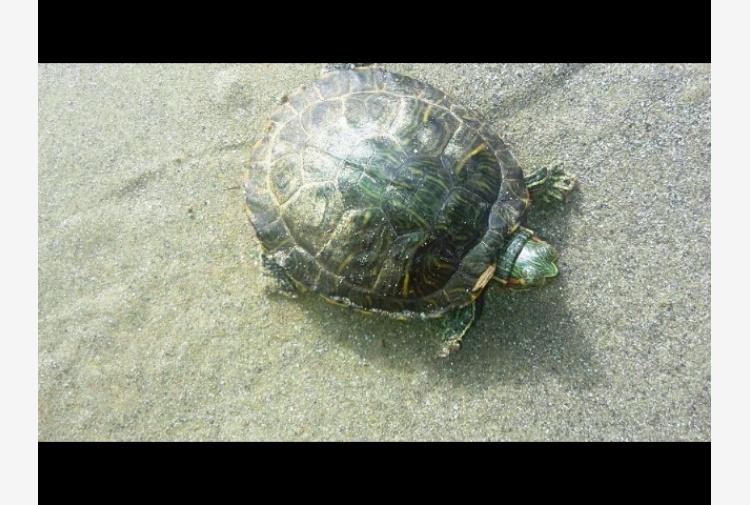 Tartarughe d 39 acqua dolce in spiaggia tiscali notizie for Tartarughe di acqua dolce