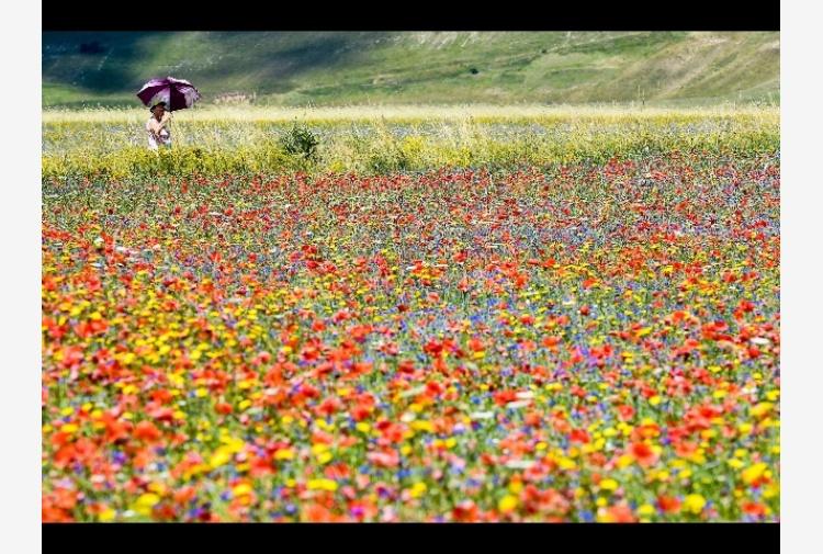 Sindaco Norcia, tutti vedano fioritura