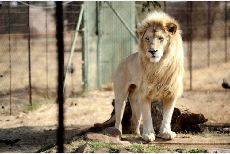 Usa: leone uccide addetta centro natura - Nord America