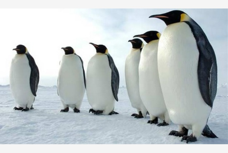 Risultati immagini per pinguino