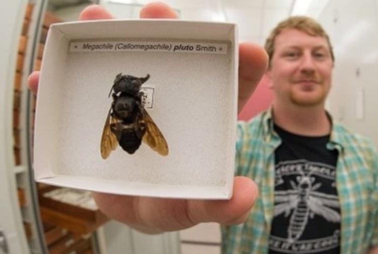 Ritrovata, a 38 anni dall'ultimo avvistamento, l'ape più grande del mondo