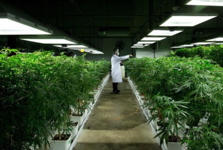 Cannabis terapeutica da gennaio in farmacia