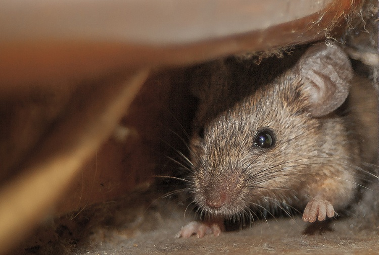 L allarme degli scienziati  città invase da ratti portatori di super batteri 7f32099d5e