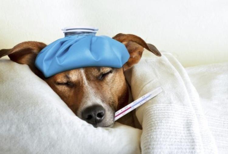 Influenza, la colpa delle pandemie future potrebbe essere dei cani