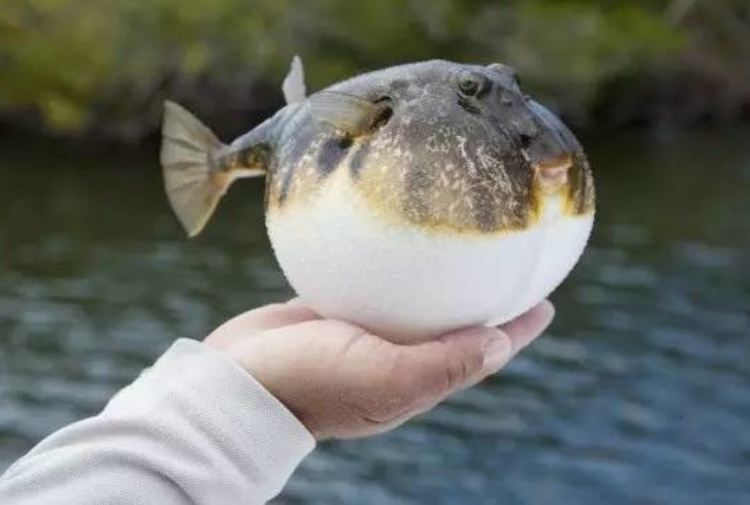 Mari italiani invasi da migliaia di pesci tossici for Pesce palla immagini
