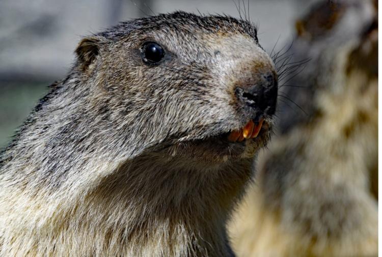Coppia muore di peste bubbonica dopo aver mangiato carne cruda di marmotta