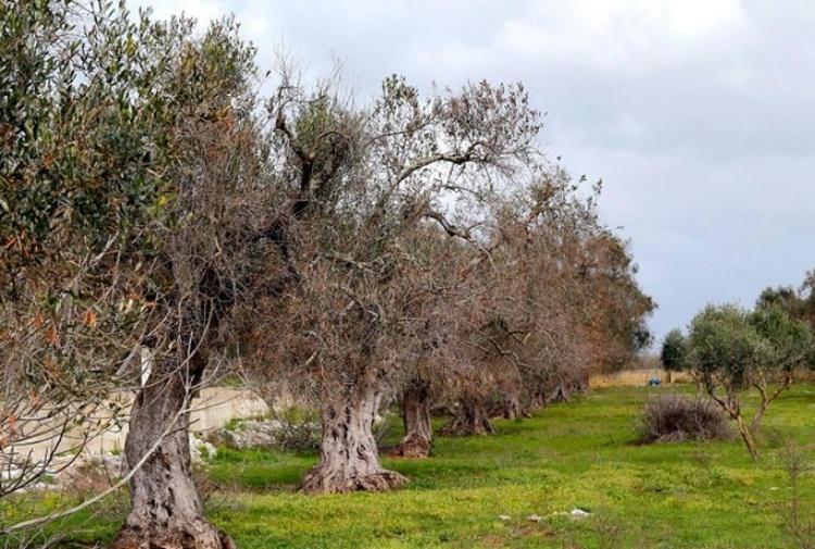 Xylella, l'allarme di Coldiretti: 'Avanzata di 2 chilometri al mese spaventa l'UE'